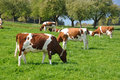 Emmental region switzerland cows in Stock Photo