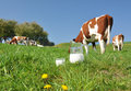 Emmental region switzerland jug of milk against herd of cows Stock Images