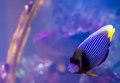 Emperor angelfish a colorful in an aquarium Royalty Free Stock Photography