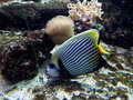 Emperor Angelfish fish on coral reef Royalty Free Stock Photo