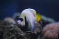 Emperor angelfish or Pomacanthus imperator fish. Royalty Free Stock Photo