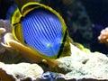 Emperor angelfish (Pomacanthus imperator) Royalty Free Stock Photo