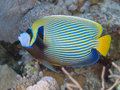 Emperor angelfish red sea Royalty Free Stock Photography