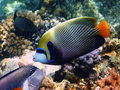 Emperor angelfish and reef Royalty Free Stock Images