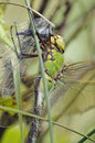 Emperor Dragonfly - Anax imperator Stock Photos