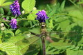 Emperor dragonfly female anax imperator Royalty Free Stock Image
