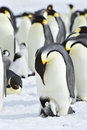 Emperor Penguins with chick Royalty Free Stock Photo