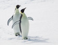 Emperor penguins two playing together Royalty Free Stock Photos