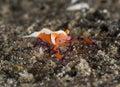 Emperor shrimp Royalty Free Stock Photo