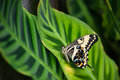 Emperor swallowtail butterfly papilio ophidicephalus perched on a leaf Stock Images