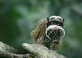 Emperor tamarin monkey with funny mustache Royalty Free Stock Photos