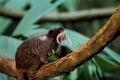 Emperor Tamarin Monkey In Jungle Environment. Saguinus imperator Royalty Free Stock Photo