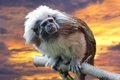 Emperor tamarin monkey on the sunset background isolated close up portrait Royalty Free Stock Photos