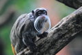 Emperor tamarin Royalty Free Stock Photo