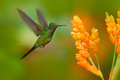 Empress brilliant hummingbird in flight. Green hummingbird with yellow flower. Beautiful hummingbird from Colombia. Hummingbird in Royalty Free Stock Photo