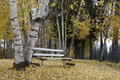 Empty bench in autumn park an the middle of aspen trees with bright yellow leaves Stock Photography