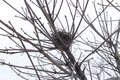 Empty bird nest on bare branches of a tree Royalty Free Stock Photo