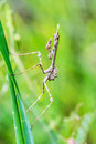 empusa pennata praying mantis, Insect on blade of grass Royalty Free Stock Photo