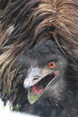 Emu Royalty Free Stock Images