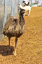 Emu at animal park a friendly in an with a llama and pony in the distance Royalty Free Stock Photography