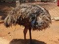 Emu bird in emu farm inside cage a emufarm Royalty Free Stock Image
