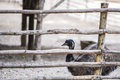 Emu in captivity Royalty Free Stock Photo