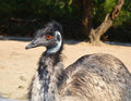 Emu close up photo of in a zoo Royalty Free Stock Photography