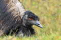 Emu the detail of adult in the grass Stock Photos