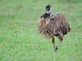 Emu a detailed portrait of an dromaius novaehollandiae walking on the field in front of beautiful creamy background Stock Photo