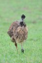 Emu Royalty Free Stock Photo