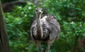 Emu (Dromaius novaehollandiae) Royalty Free Stock Photography