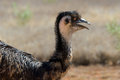 Emu exmouth western australia an in Royalty Free Stock Photo