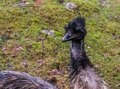 Emu face in closeup, adorable portrait of a flightless bird from Australia Royalty Free Stock Photo
