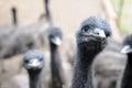 Emu farm emus matriculate on an in washington state Royalty Free Stock Photo