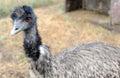 Emu farm emus matriculate on an in washington state Royalty Free Stock Photos