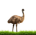 Emu with green grass isolated Royalty Free Stock Photo