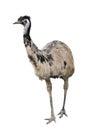 Emu isolated on white background Royalty Free Stock Photo
