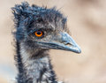 Emu looking right closeup of an to the one eye visible Royalty Free Stock Photos