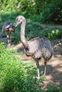 Emu or ostrich two standing together Stock Photo