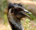 Emu portrait of an bird Royalty Free Stock Photography