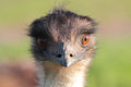 Emu portrait Royalty Free Stock Photo