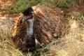 Emu resting Royalty Free Stock Photo