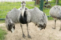 Emu spread out wings running bird dromaiidae dromaius Stock Image