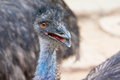 Emu stock photo of the head of an Royalty Free Stock Photo