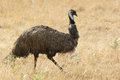 Emu tasmania australia one of the biggest birds in Stock Photo
