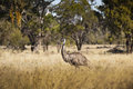 Emu in Wild Royalty Free Stock Photo
