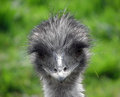 Emu yokel an with a single piece of grass in its mouth like a country Royalty Free Stock Photography