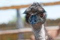 Emu at a zoo portrait of an Stock Photos