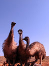 Emus australia in the outback Stock Photo
