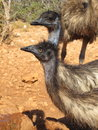 Emus australia in the outback Stock Photography